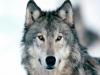 frenchywolf